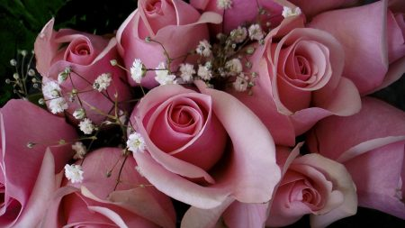 roses, flowers, pink
