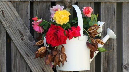 roses, flowers, seeds