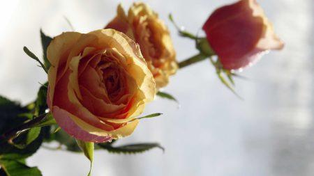 roses, flowers, sharpness
