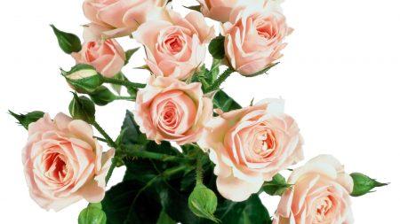 roses, flowers, tender