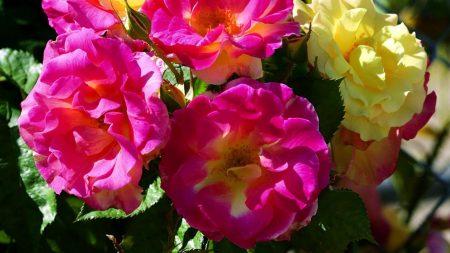 roses, garden, bush