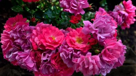 roses, licentious, garden