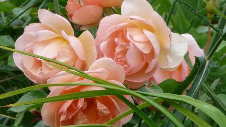 roses, loose, grass