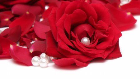 roses, petals, buds