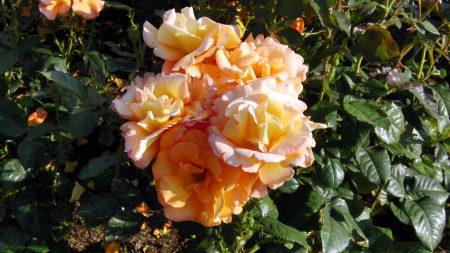 roses, shrub, garden