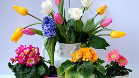 roses, tulips, herberas