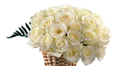 roses, white, buds