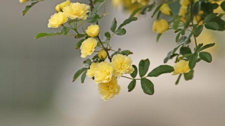 roses, yellow, spray