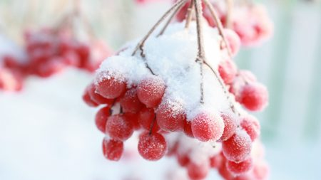 rowan, snow berry, winter