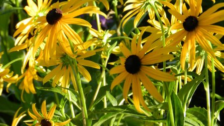 rudbeckia, flowerbed, close up