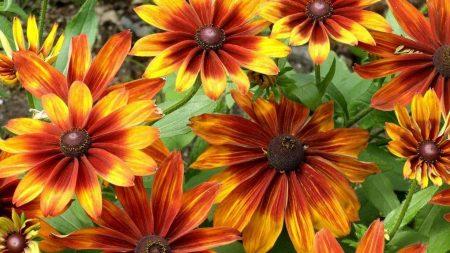 rudbeckia, flowers, bright