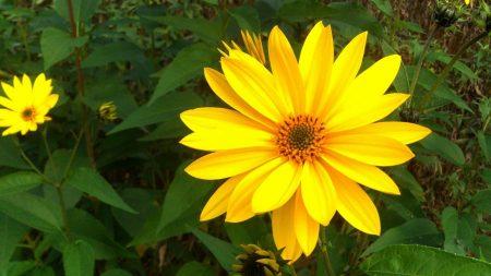 rudbeckia, flowers, flowerbed