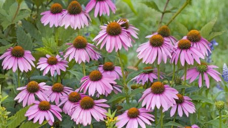 rudbeckia, flowers, herbs