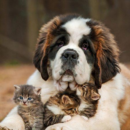 saint bernard, dog, kitten
