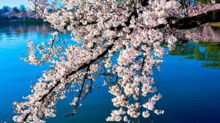 sakura, blossoms, branches