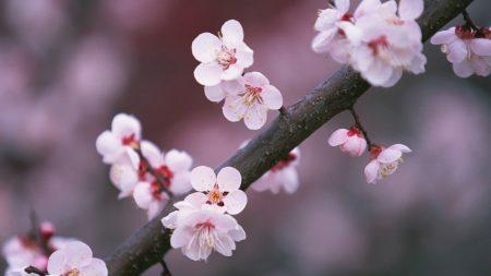 sakura, branch, close-up