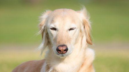 saluki, dogs, face