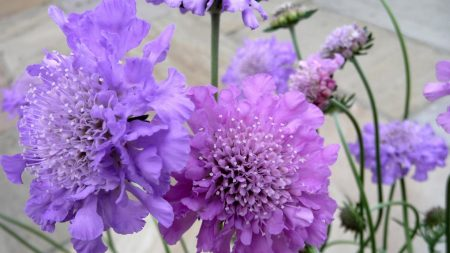 scabious, flowers, garden