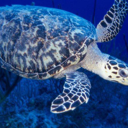 sea ??turtle, swimming, underwater world