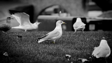 seagull, bird, walk