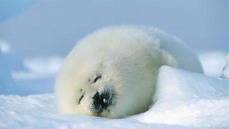 seal, red, sleep