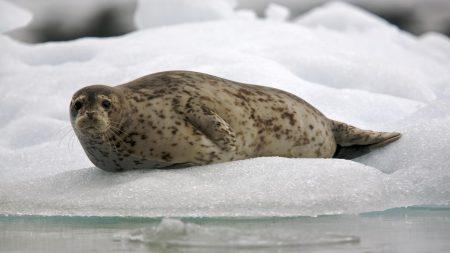 seal, snow, ice
