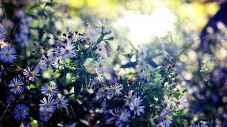 sentyabriny, flowers, autumn