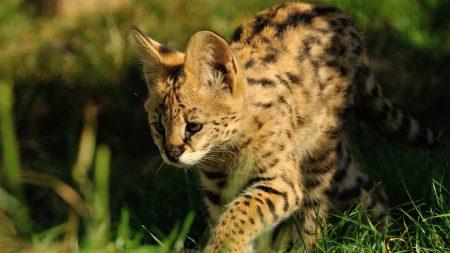 serval, predator, grass