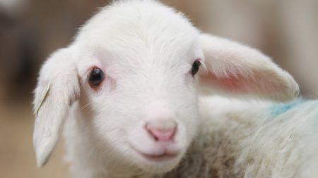 sheep, lamb, face