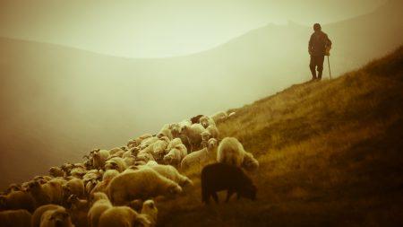 sheep, shepherd, pasture