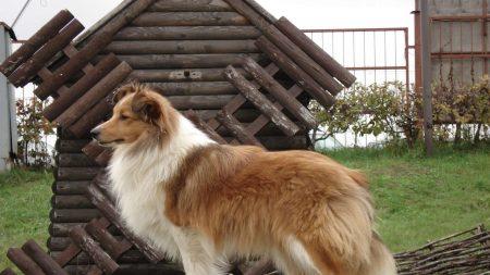 sheltie, dog, fluffy