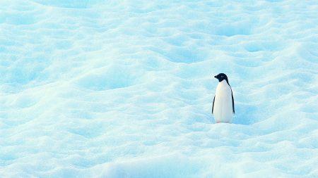 small, penguin, north