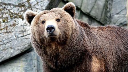 snout, bear, brown
