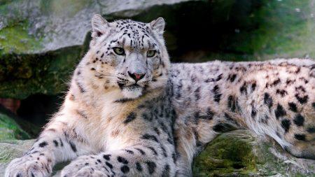 snow leopard, big cat, carnivore