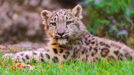 snow leopard, cub, grass
