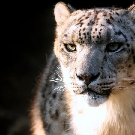snow leopard, face, big cat