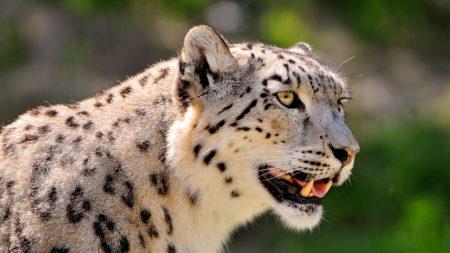 snow leopard, face, color