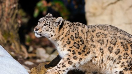 snow leopard, leopard, light
