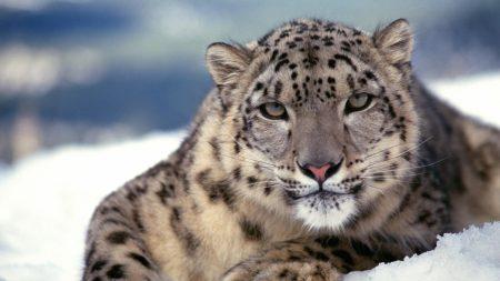 snow leopard, snout, snow