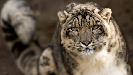 snow leopard, snout, spotted