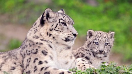 snow leopard, spotted, color