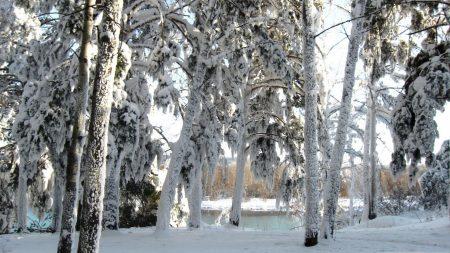 snow, trees, winter