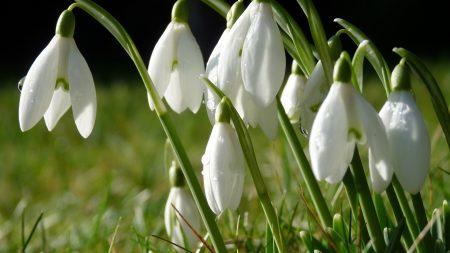 snowdrops, flowers, grass