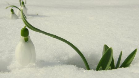 snowdrops, flowers, leaves