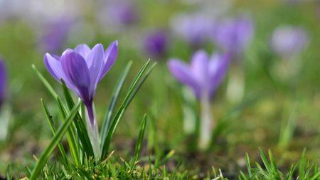 snowdrops, flowers, meadow