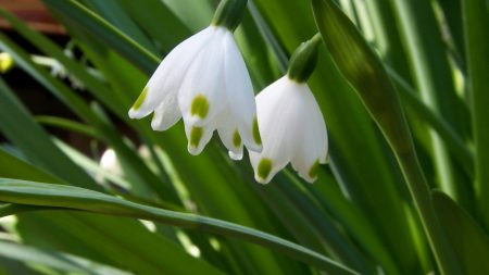 snowdrops, flowers, spring greens