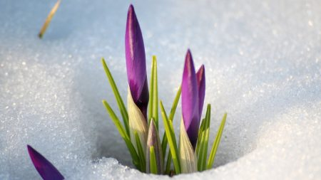 snowdrops, snow, spring