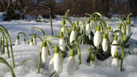 snowdrops, spring, flowers