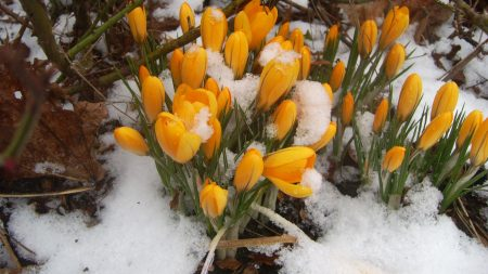 snowdrops, yellow, snow