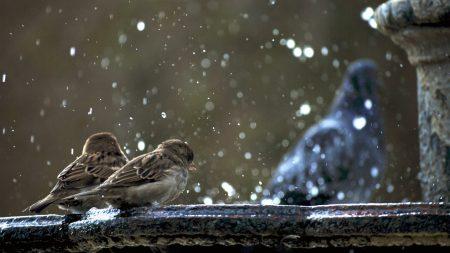 sparrows, birds, winter